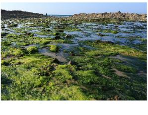 ダンディーコア 海藻